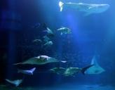 more sea creatures in the biggest aquarium inside Kaiyukan