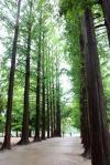 Metasequoia footpath